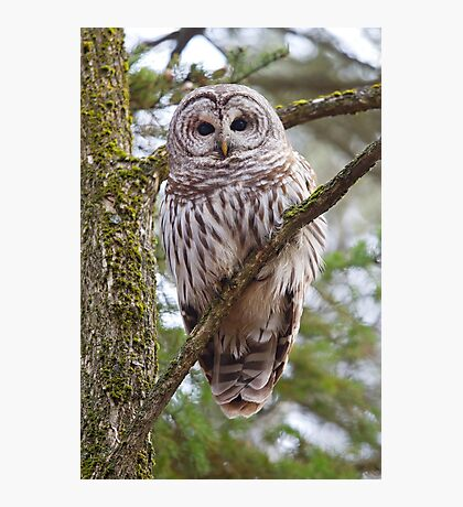 Who, Who, Who cooks for you? Barred Owl Photographic Print
