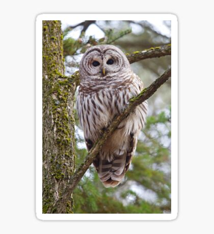 Who, Who, Who cooks for you? Barred Owl Sticker
