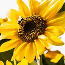 Sunflower by Robert  Taylor