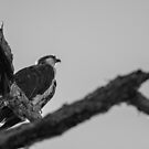 Osprey in Tree by Donna Adamski