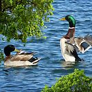 Mallard Duck Spreading His Wings by Penny Odom