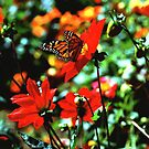 Monarch Butterfly by K D Graves Photography
