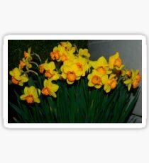 Mary Bohannon Daffodils Sticker