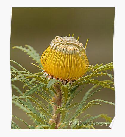 Dryandra stuposa  Poster