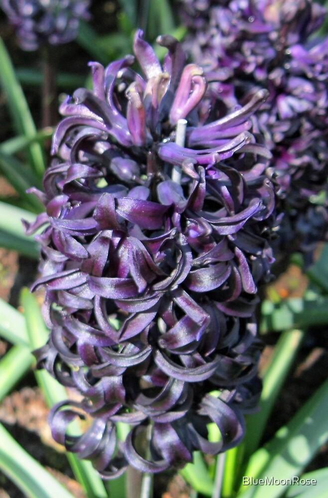 Midnight Mystique - Dark Hyacinth by BlueMoonRose
