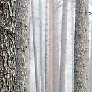 31.3.2016: Foggy Pine Tree Forest by Petri Volanen