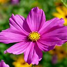 Pink Cosmos - NZ by AndreaEL