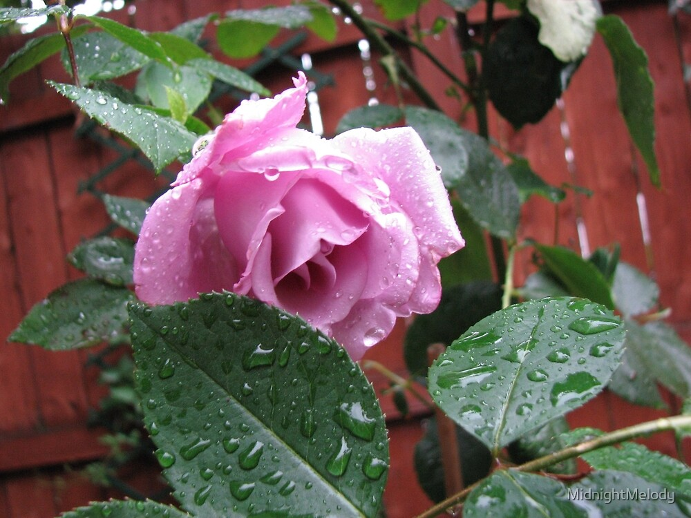 Tender Rose with Raindrops by MidnightMelody