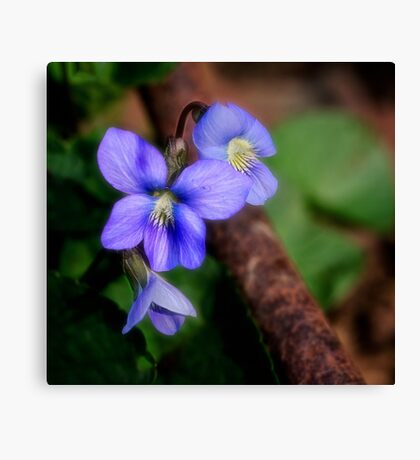 Violets and Rust Canvas Print