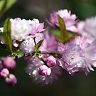 Flowering Almond by WalnutHill