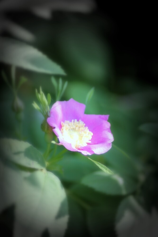 Old fashioned pink rose, near Trojan pond, Oregon by Dawna Morton