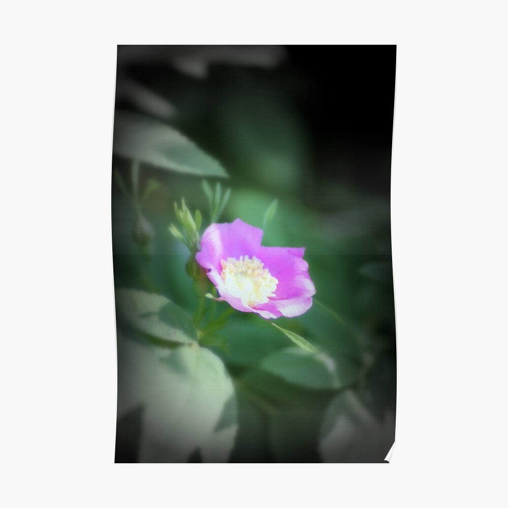 Old fashioned pink rose, near Trojan pond, Oregon Poster