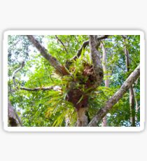Staghorn ferns - Cape Byron, NSW. Australia Sticker