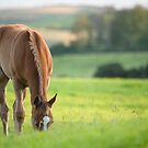 Horse in field near ballyvaloo, Blackwater, Wexford by Ian Middleton