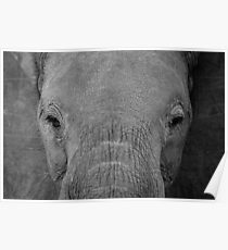 Elephant - Africa (4) Poster
