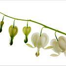 Dicentra spectabilis alba by John Edwards