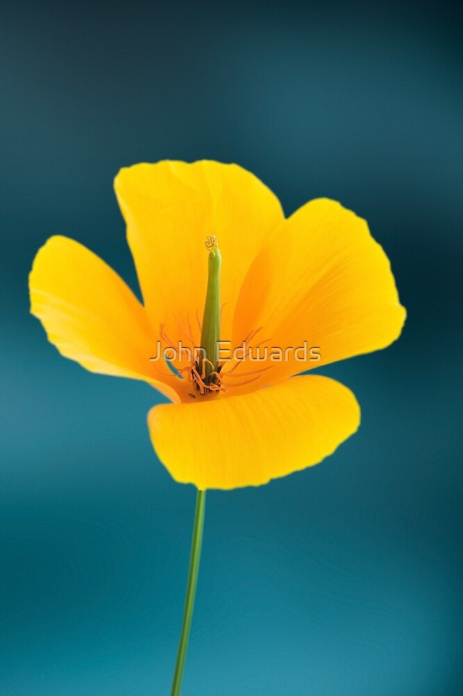Eschscholzia californica by John Edwards