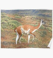 Guanaco in Torres del Paine Poster