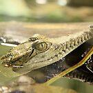 Baby Crocodile by Sophia Covington