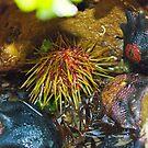 Sea Urchin and Starfish by Sophia Covington
