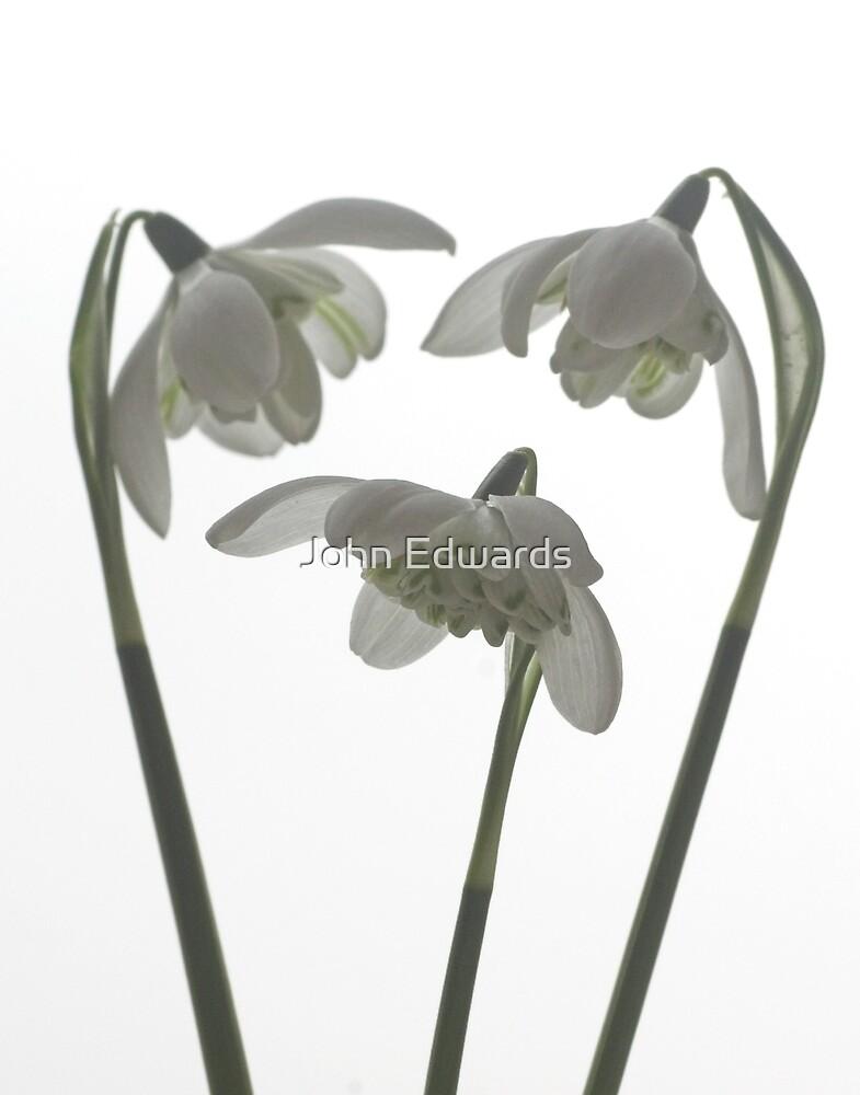 Galanthus nivalis flore pleno by John Edwards