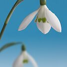 Snowdrop duo by John Edwards
