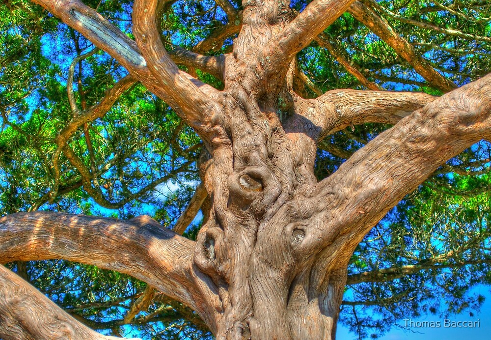 Cedar Tree In HDR by TJ Baccari Photography