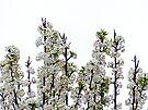 Bradford Pear Blossoms by FrankieCat