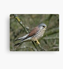 Kestrel - bird of prey Canvas Print