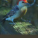Red-Bellied Woodpecker #3 by glink