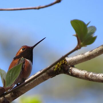 Rufous Hummingbird in Dogwood Tree by pennywm782