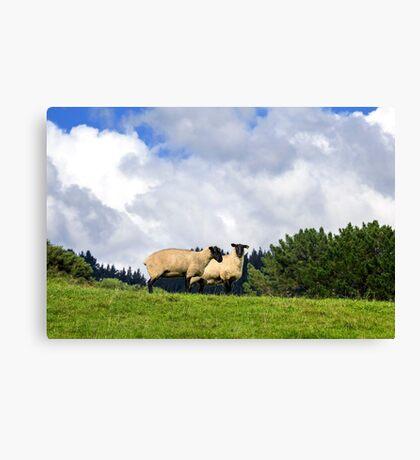 Shy Sheep Canvas Print