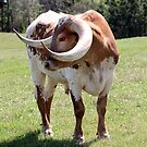 Texas Brown and White Longhorn Bull by Catherine Sherman