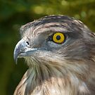 Snake Eagle by Shaun Colin Bell