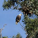 Bald Eagle on a Sunny Day by DARRIN ALDRIDGE