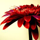 gerbera reds by webgrrl