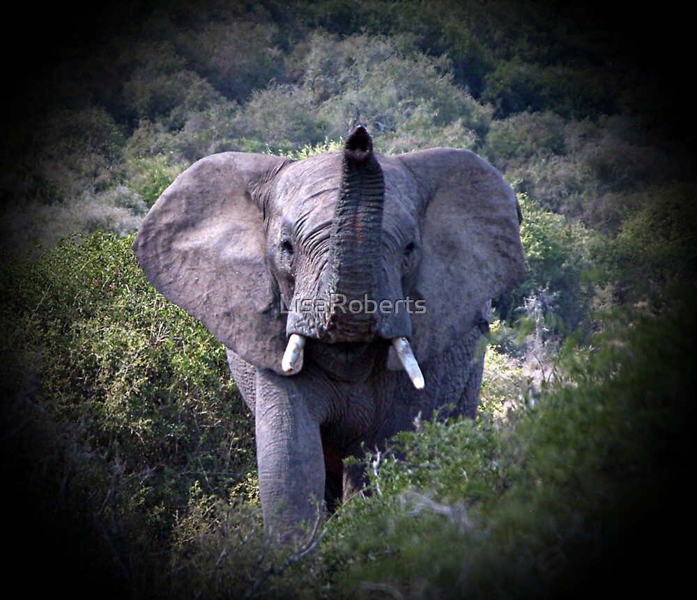 African Elephant, South Africa by LisaRoberts