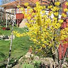 Forsythia at Our House in Romania by Dennis Melling