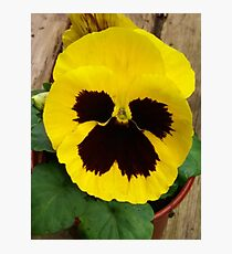 YELLOW TWO TONE PANSY Photographic Print