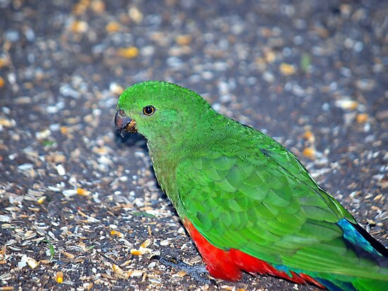 King Parrot by W E NIXON  PHOTOGRAPHY