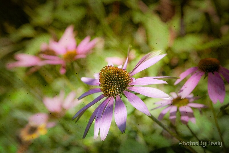 Echinacea - textured by Photos by Healy