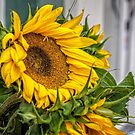 Sunflower by PhotosByHealy