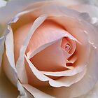 Soft Rose by Joy Watson