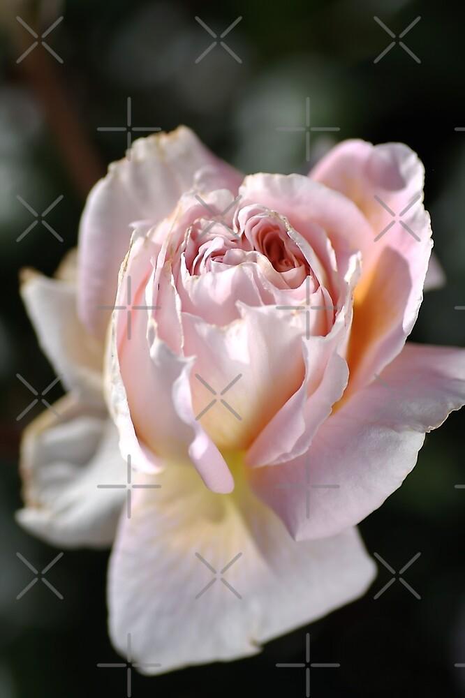 Soft Pink Rose by Joy Watson