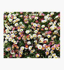 Candy Coloured Daisies Photographic Print