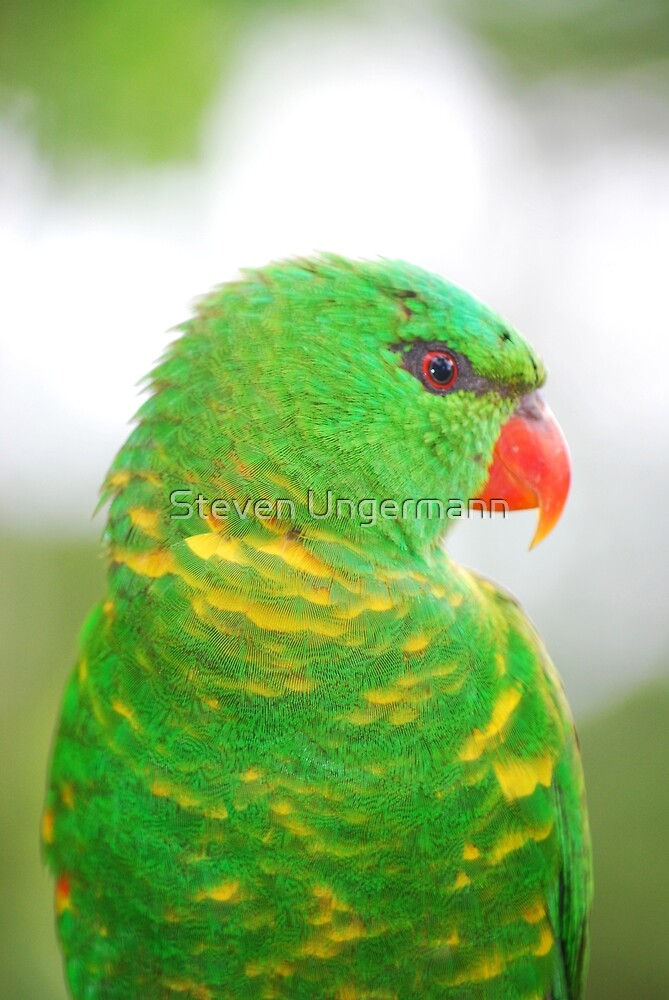 Scaly-Breasted Lorikeet by Steven Ungermann