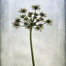 Aethusa cynapium by John Edwards