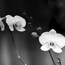 3 white Orchids... by Wieslaw Jan Syposz