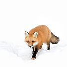 Red Fox in snow - Algonquin Park by Jim Cumming