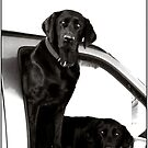 Inquisitive Black Labs by Wayne King